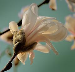 Innis-woods-blossom
